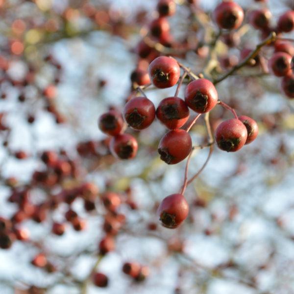 5_IsabelleCornette_Aubepine_Fruits